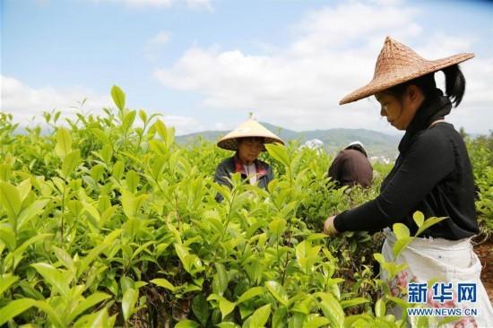 福建武夷山:谷雨将至采茶忙