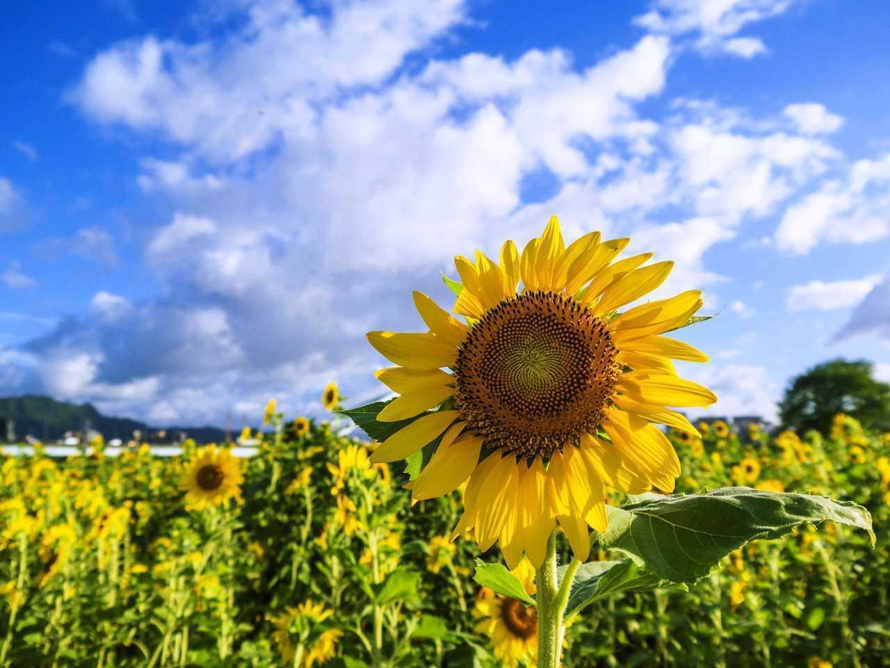 """向日葵总是向太阳吗?晚上是否集体""""猛回头""""?"""