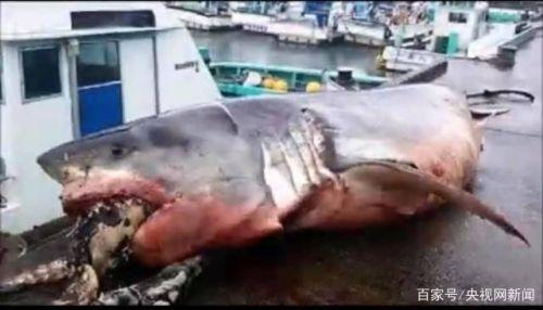 大白鲨遭海龟噎死