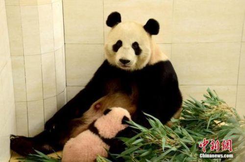 【大熊猫抵达莫斯科照片曝光】大熊猫抵达莫斯科照片曝光 大熊猫在莫斯科动物园的生活环境如何