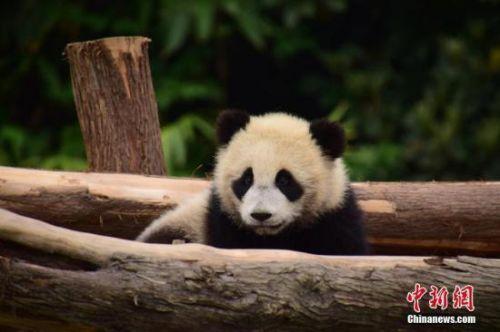 大熊猫抵达莫斯科照片曝光 大熊猫在莫斯科动物园的生活环境如何