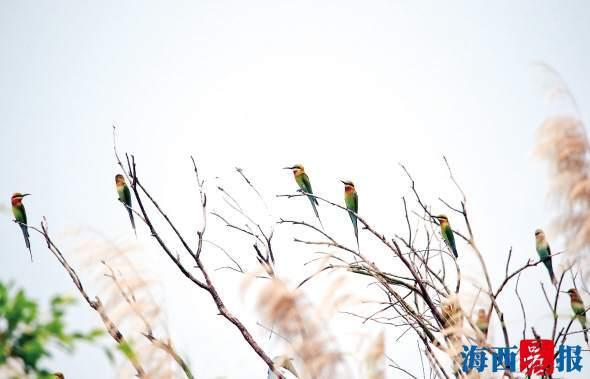 今年超120只栗喉蜂虎在五缘湾自然保护区居住 创下新高