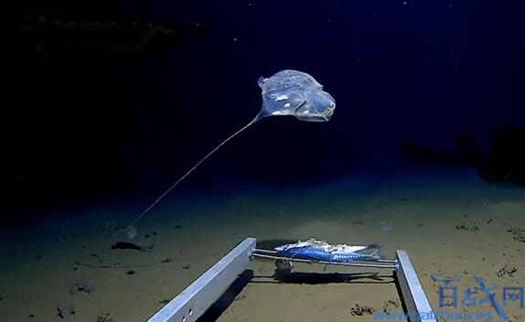 【印度洋发现怪物躲在7000米深海】印度洋发现怪物躲在7000米深海 印度洋怪物发出蓝光照片曝光