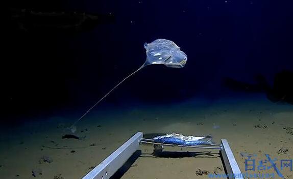 [印度洋发现怪物 视频]印度洋发现怪物会发出蓝光还躲在7000米深海 印度怪物照片曝光