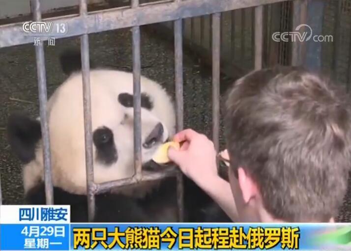大熊猫丁丁如意起程赴俄罗斯什么情况 大熊猫去俄罗斯做什么