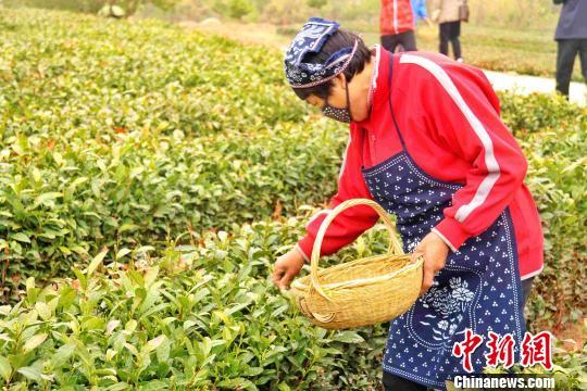 中國茶產量達261萬噸居世界第一 占全球產量45%