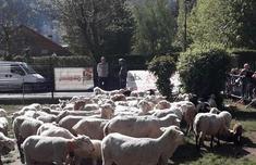 15只羊登記入學怎么回事 為何讓羊登記入學