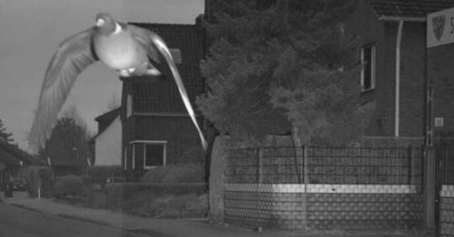 """""""超速""""鸽子 图源:博霍尔特市推特账号"""