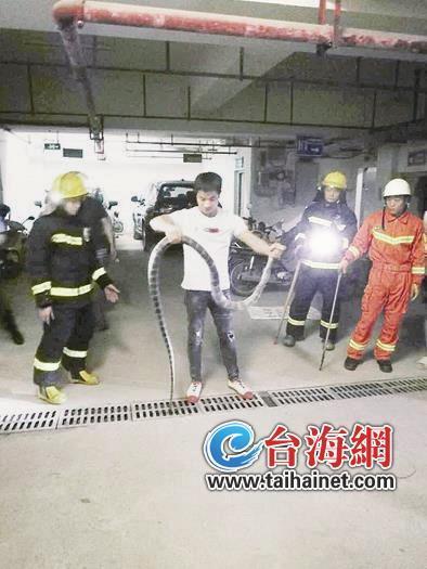 漳州2米长眼镜王蛇惊现小区停车场