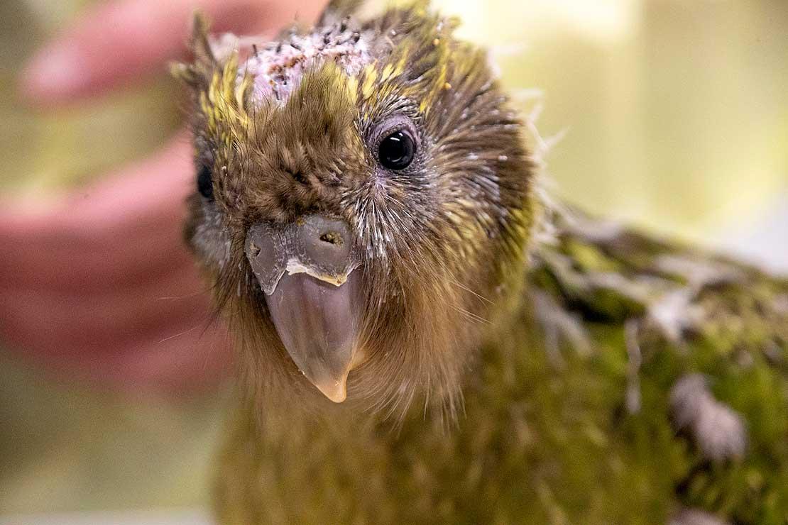 首例鳥類腦部手術事件始末 首例鳥類腦部手術現場圖曝光