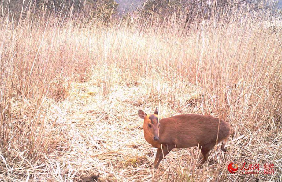 动物世界很精彩 福建武夷山国家公园首次发布动物监测影像
