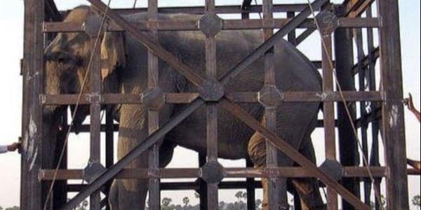 泰国10年来首次解禁大象出口 上万人联名反对