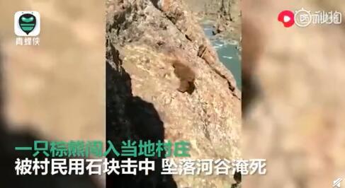 棕熊被扔石頭驅趕滾下河谷什么情況 棕熊已被列入瀕危物種