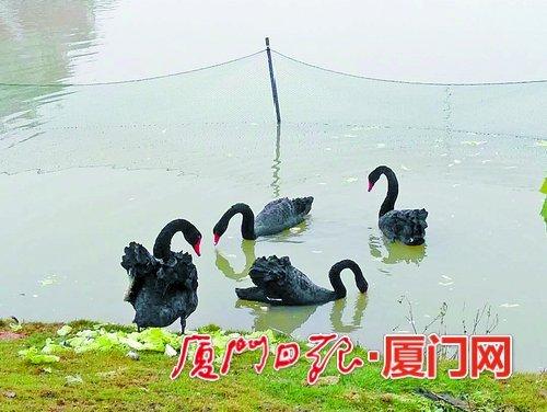 厦门大学翔安校区芙蓉湖畔:黑天鹅忙孵化 校方围出产房