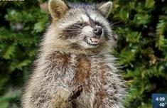 美现绿眼僵尸浣熊什么情况 是真的僵尸浣熊吗