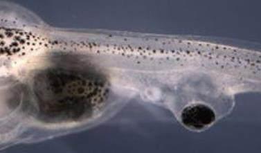 蝌蚪尾巴重生奥秘是什么? 蝌蚪尾巴重生奥秘对人类有何意义?