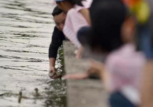 西湖小鸳鸯被抓伤现场图曝光 西湖小鸳鸯为什么会被抓伤事件始末