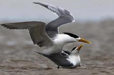 福建閩江入海口:大鳳頭燕鷗的沙洲柔情