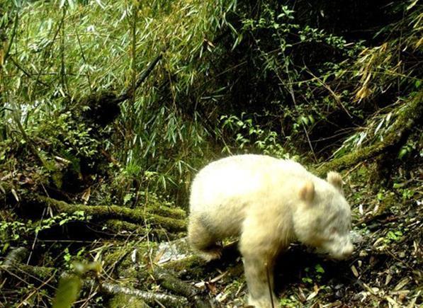 白色大熊猫