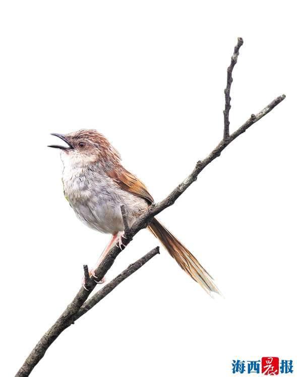 萌萌山鷦鶯現身云頂山 廈門野生鳥類記錄更新至387種