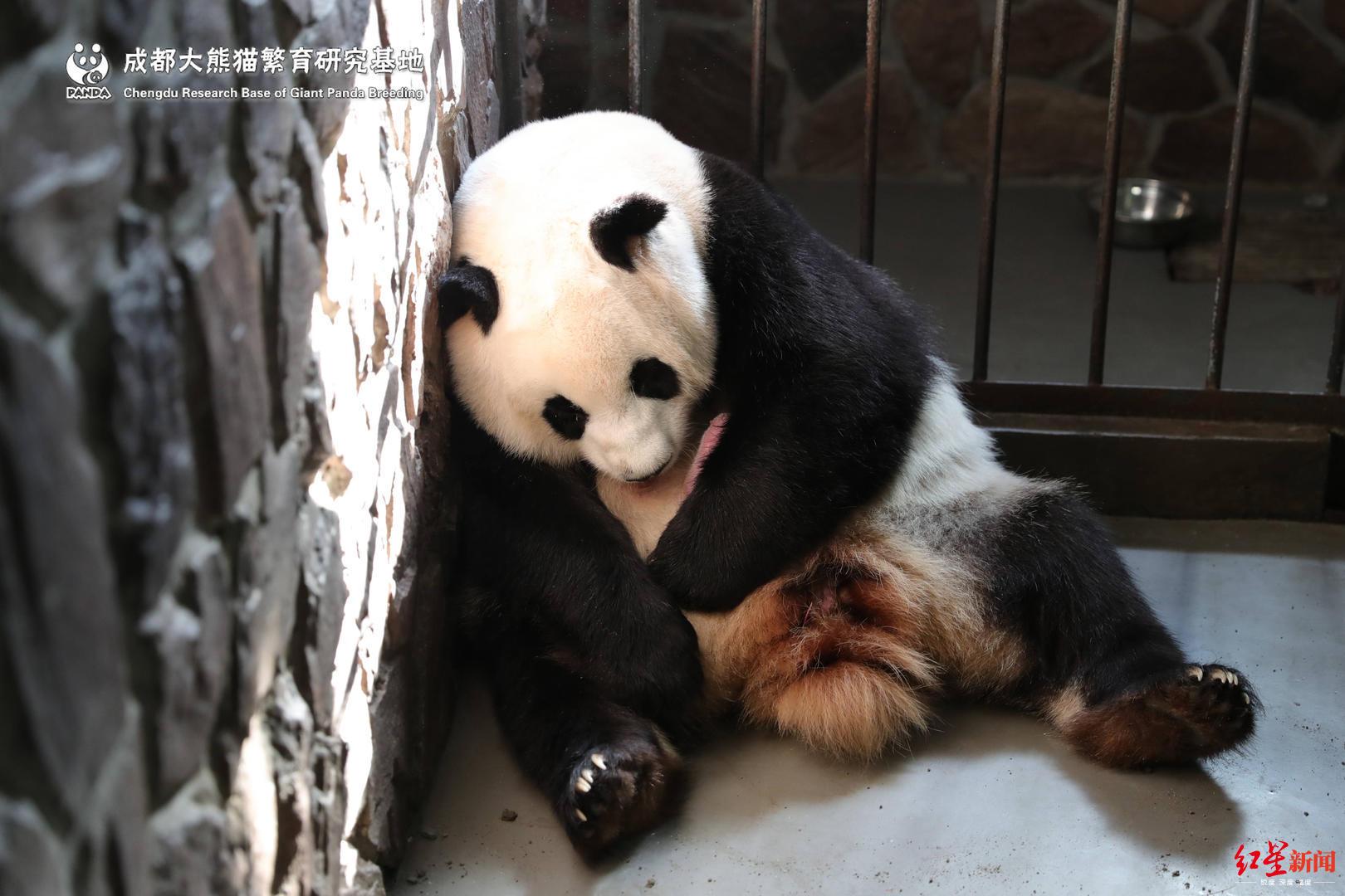 2019年首只圈养大熊猫出生照片曝光 2019年首只圈养大熊猫出生详情