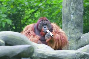 猩猩樂申意外離世令人心痛 南京紅毛猩猩樂申死因是什么?
