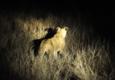 14頭獅子南非出逃怎么回事?獅子南非怎么出逃的原因揭秘