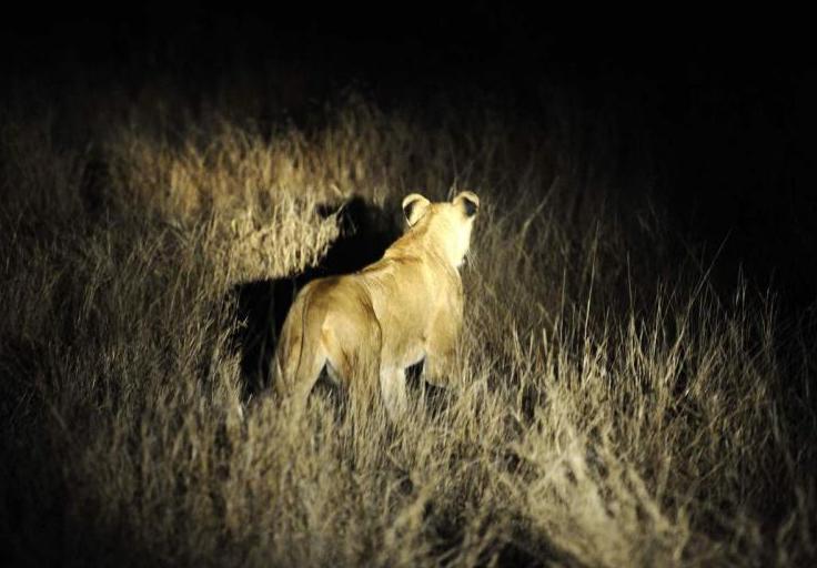 14头狮子南非出逃怎么回事?狮子南非怎么出逃的原因揭秘