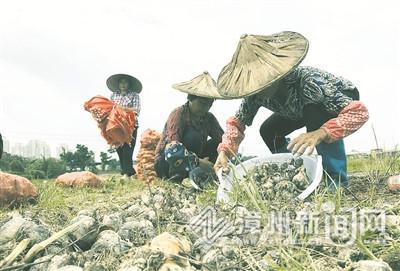 漳州圓山水仙花公司:標準化管理 促球莖提質