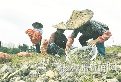漳州圆山水仙花公司:标准化管理 促球茎提质