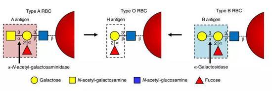 A(左)、O(中)、B(右)三种血型中红细胞表面糖蛋白结构