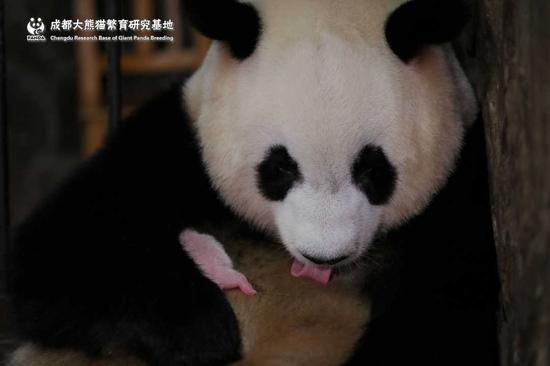 全球最小熊猫幼仔图片曝光 全球最小熊猫幼仔有多小重量曝光