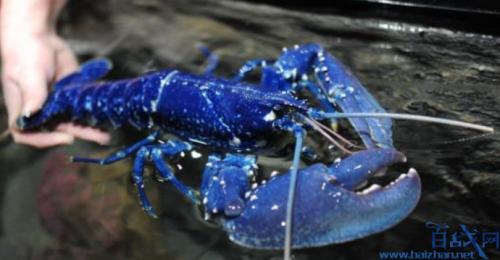 餐厅发现蓝色龙虾什么情况 蓝色龙虾是怎么出现的能食用么?