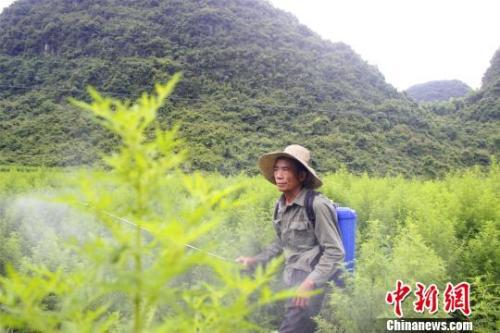 资料图:农民在青蒿地里杀虫。朱柳融 摄