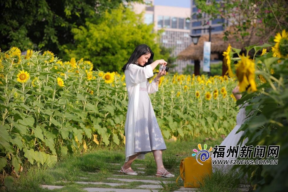 福州花海公园向日葵盛放 金黄花海引游人