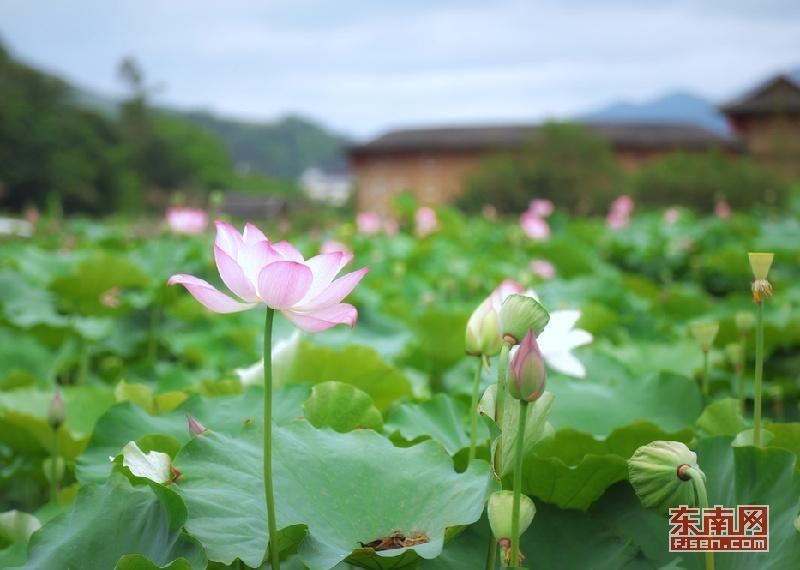 漳州南靖:夏日荷香映土楼