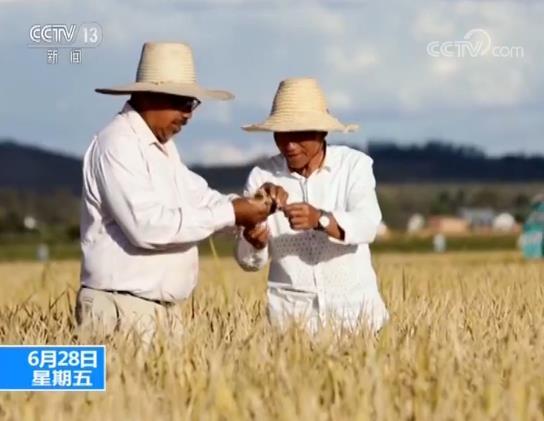 杂交水稻创纪录什么情况 中国水稻使整个非洲受益