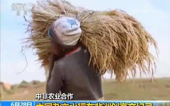 杂交水稻创纪录怎么回事?杂交水稻创下了什么纪录详细情况