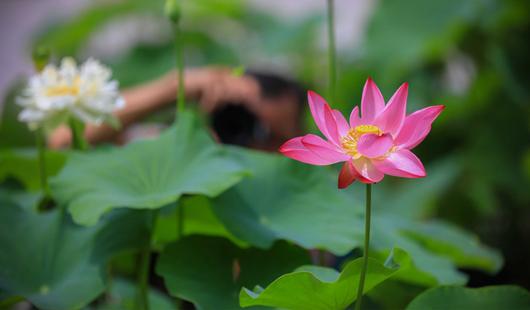 福州迎來荷花季:品荷之姿容 賞蓮之雅韻