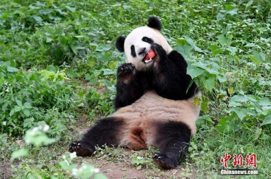 """""""海歸""""大熊貓的川式生活:雙語照料 舊物伴眠"""