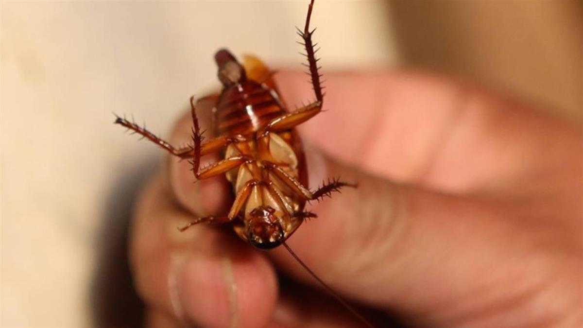 蟑螂正在變得不可戰勝,殺蟲劑無法阻擋它肆虐