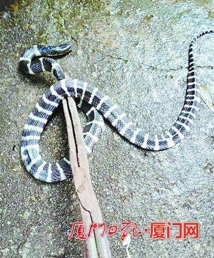 超強毒性蛇溜進家中半個月 廈門市民為此非常煎熬