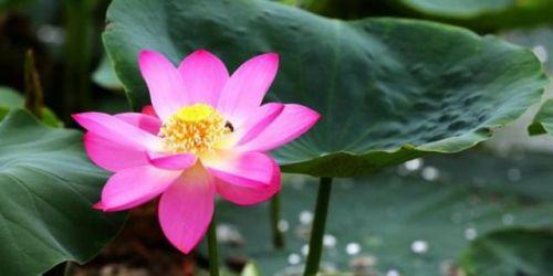百年古莲复活开花组图惊艳网友 百年古莲为什么能复活开花?