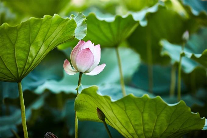百年古蓮復活開花怎么回事 古蓮子和普通蓮子有什么區別