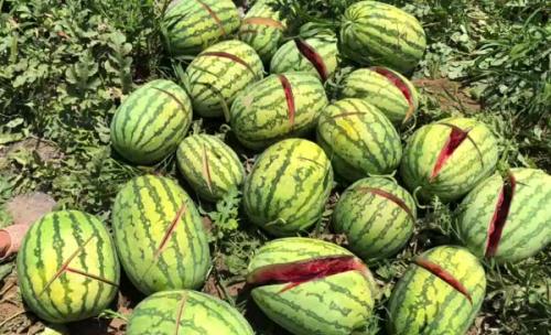村民李女士家地里的西瓜被砍。图为网络图片。