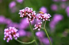 莆田荔城:馬鞭草花開 紫色花海絢麗如畫卷