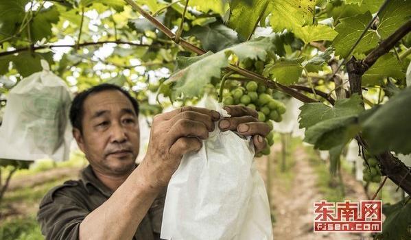 """福安市高山晚熟葡萄主产区 今秋期待""""致富果"""""""