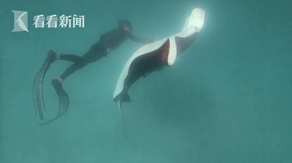 万物有灵!魔鬼鱼被鱼钩钩到 竟主动求助潜水员