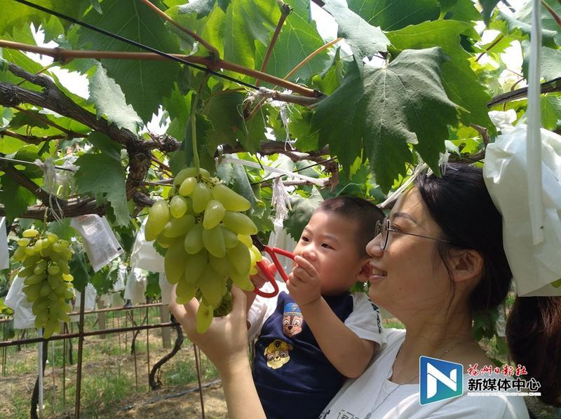 葡萄熟了!2019福州·琅岐葡萄旅游节周六开幕