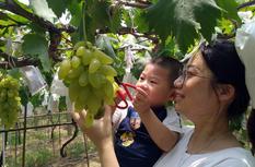 2019福州·琅岐葡萄旅游节7月20日开幕